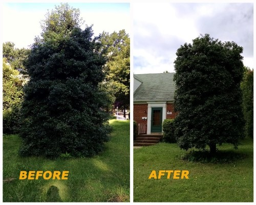 Richmond Tree Trimming Contractor